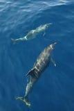 Golfinhos Fotos de Stock
