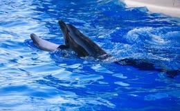 golfinhos Fotografia de Stock