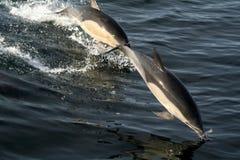 Golfinhos comuns fotografia de stock royalty free