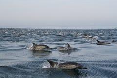 Golfinhos comuns 2 fotos de stock