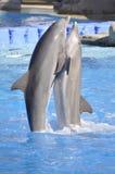 Golfinhos da dança Fotografia de Stock Royalty Free