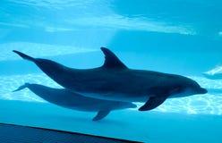 Golfinhos da natação fotografia de stock royalty free