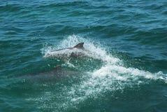 Golfinhos de Bottlenose Fotografia de Stock Royalty Free