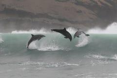Golfinhos de bottlenose selvagens que saltam fora da costa do Peru imagens de stock royalty free