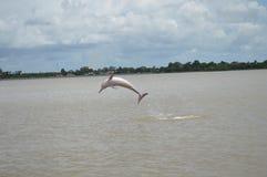 Golfinhos de rio cor-de-rosa imagens de stock