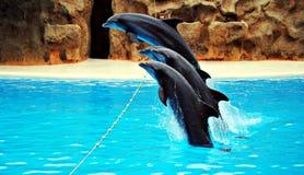 Golfinhos de salto Imagens de Stock