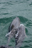 Golfinhos do branco chinês (Sousa chinensis) Fotos de Stock