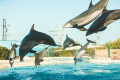 Golfinhos do voo imagens de stock