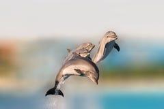 Golfinhos do voo que têm saltar do divertimento da água imagem de stock