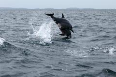 Golfinhos em Trincomalee Sri Lanka no Oceano Índico Imagens de Stock