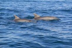 Golfinhos em Zanzibar imagens de stock