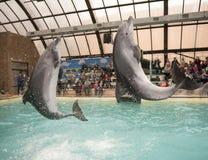 Golfinhos: Mamã e filho em um salto no dolphinarium de Rostov Fotos de Stock
