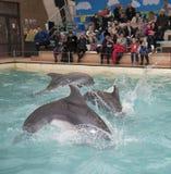 Golfinhos: Mamã e 2 filhos em um salto no dolphinarium de Rostov Fotografia de Stock