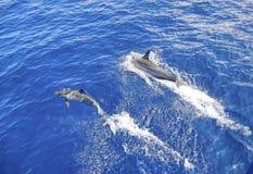 Golfinhos Maui Havaí Fotos de Stock