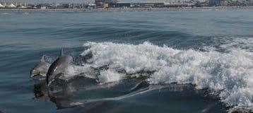 Golfinhos no jogo Fotografia de Stock Royalty Free