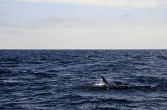 Golfinhos no mar Imagem de Stock Royalty Free