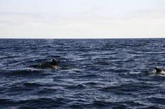 Golfinhos no mar Imagens de Stock Royalty Free