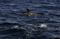 Golfinhos no mar Fotos de Stock