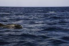 Golfinhos no mar Fotografia de Stock Royalty Free