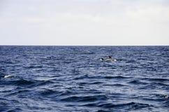 Golfinhos no mar Foto de Stock