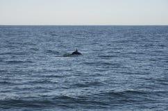 Golfinhos no oceano Fotografia de Stock Royalty Free