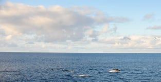 Golfinhos no Oceano Pacífico Imagem de Stock Royalty Free