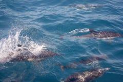 Golfinhos no selvagem Fotos de Stock Royalty Free