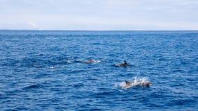 Golfinhos perto da costa de Ventura, Califórnia Imagens de Stock