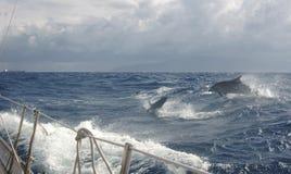 Golfinhos que fazem correria no Mar Egeu Imagem de Stock