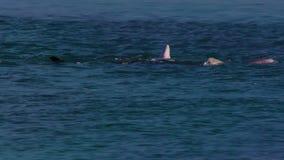 Golfinhos que jogam ao redor vídeos de arquivo