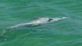 Golfinhos que jogam junto vídeos de arquivo