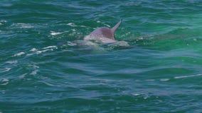 Golfinhos que jogam junto video estoque