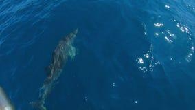 Golfinhos que nadam na frente do barco que salta, movimento lento vídeos de arquivo
