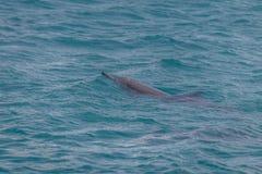 Golfinhos que nadam no mar interno - Fernando de Noronha, Pernambuco, Brasil Imagem de Stock