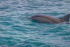 Golfinhos que nadam no mar interno - Fernando de Noronha, Pernambuco, Brasil Fotografia de Stock