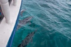 Golfinhos que nadam no mar interno - Fernando de Noronha, Pernambuco, Brasil Imagens de Stock Royalty Free