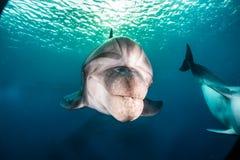 Golfinhos que nadam no Mar Vermelho, Eilat Israel Fotos de Stock
