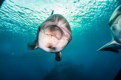 Golfinhos que nadam no Mar Vermelho, Eilat Israel Foto de Stock Royalty Free