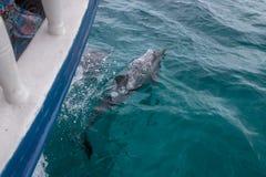 Golfinhos que nadam perto de um barco - Fernando de Noronha, Pernambuco, Brasil Foto de Stock Royalty Free