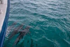Golfinhos que nadam perto do barco - Fernando de Noronha, Pernambuco, Brasil Foto de Stock