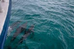 Golfinhos que nadam perto do barco - Fernando de Noronha, Pernambuco, Brasil Imagem de Stock Royalty Free