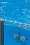 Golfinhos que olham através do vidro da associação Fotografia de Stock