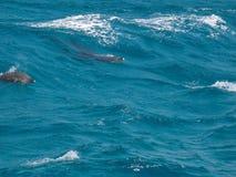 Golfinhos selvagens Fotos de Stock Royalty Free