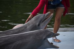 Golfinhos selvagens do dolphinarium, Varadero, Cuba fotos de stock