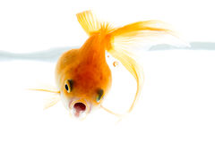 Golfish Royalty Free Stock Images