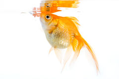 Golfish eating Stock Image