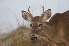 Golfo del Messico di Florida della spiaggia di Panama City dei cervi fotografie stock libere da diritti