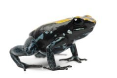 Golfodulcean毒物青蛙, Phyllobates vittatus,反对白色ba 免版税图库摄影