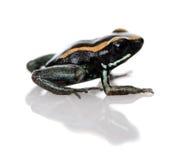 背景青蛙golfodulcean毒物白色 库存图片