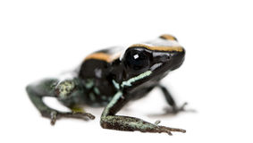 Golfodulcean Poison Frog against white background Royalty Free Stock Image